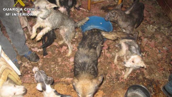 La Guardia Civil localiza a más de una treintena de perros con las cuerdas vocales cortadas.