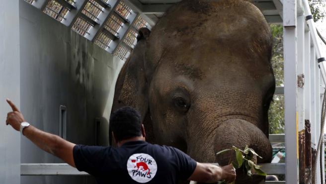 Kaavan, el 'elefante más solitario', durante su traslado a Camboya.