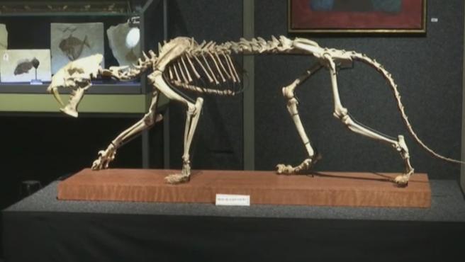 Es el fósil de un esqueleto de un tigre con dientes de sable que vivió en el norte de Estados Unidos hace unos 37 millones de años y que ahora podría ser vendido entre 65.000 y 90.000 dólares por la casa de subastas Piguet, en Suiza. El esqueleto fosilizado, fue descubierto en un terreno rocoso de Dakota del Sur. Este animal, tenía en su época un peso de unos 160 kilos y cazaba caballos primitivos y pequeños rinocerontes, según los investigadores. El esqueleto de tigre hallado está completo en un 90 por ciento, según la casa de subastas, lo que lo convierte en una pieza única y muy valiosa. Será el lote estrella entre las 40 piezas que se subastarán en una sesión dedicada a la paleontología.