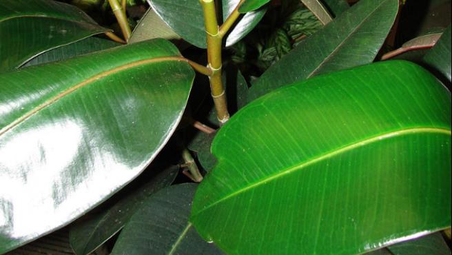 Hojas adultas de una 'Ficus elástica'.