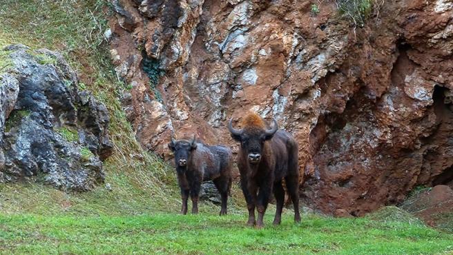 Bisontes del Parque de Cabárceno