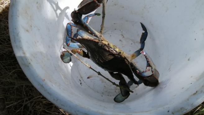 Cangrejo azul (Callinectes sapidus).