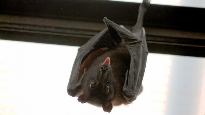 En el caso del murciélago, su actividad diaria se reduce a poco más de cuatro horas, pasando las restantes 20 completamente dormido. Eso sí, a lo largo de la historia ha dado pie a increíbles historias de terror como la de Drácula.