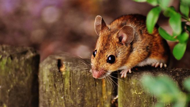 Pese a su pequeño tamaño, este roedor emplea una gran parte de la jornada a dormir, llegando a estar de esta manera hasta 20 horas.