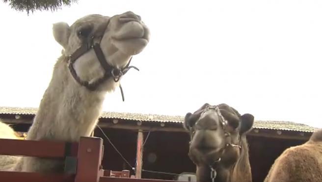 Camellos en Doñana.