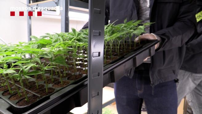 Algunas de las plantas de marihuana encontradas durante el dispositivo.