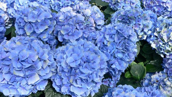 Hortensias azules.