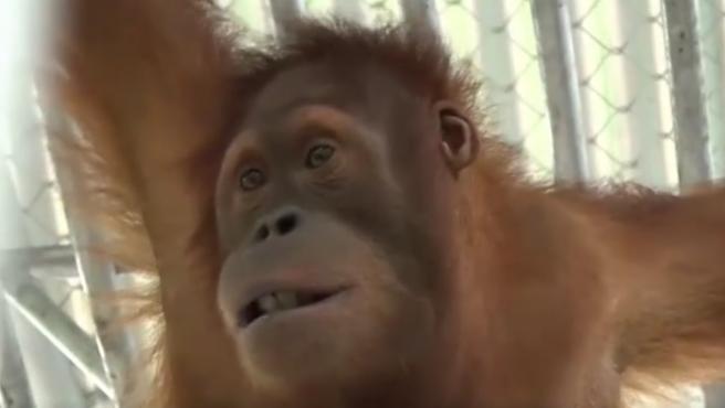 El regreso de dos orangutanes.
