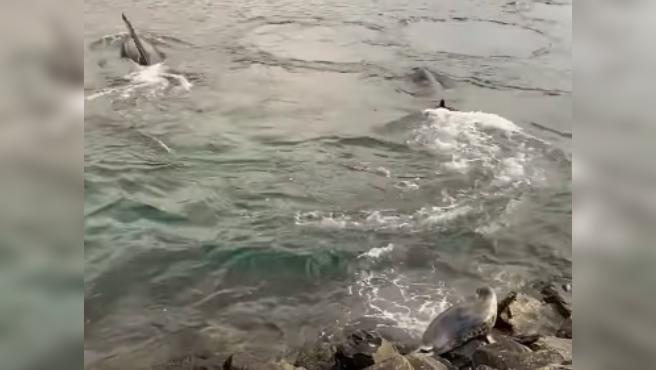 Una foca escapa de una manada de orcas que la querían cazar en Shetland (Escocia).