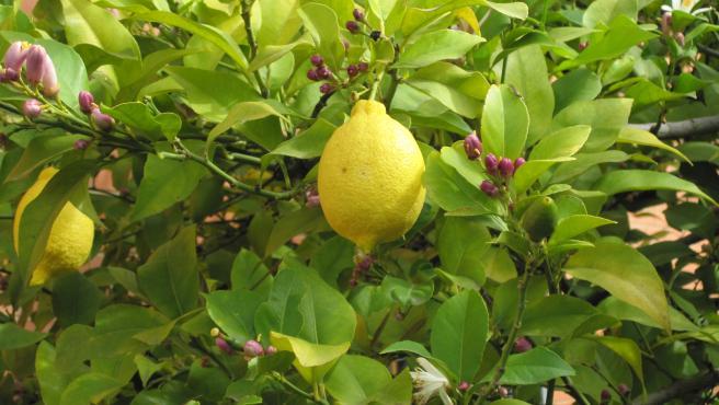 Brotes, flores y frutos de limón en la misma planta.