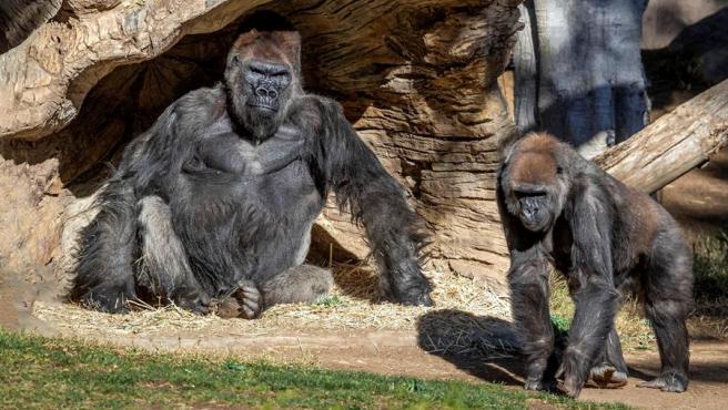Gorilas en el zoológico de San Diego (California, EE UU).