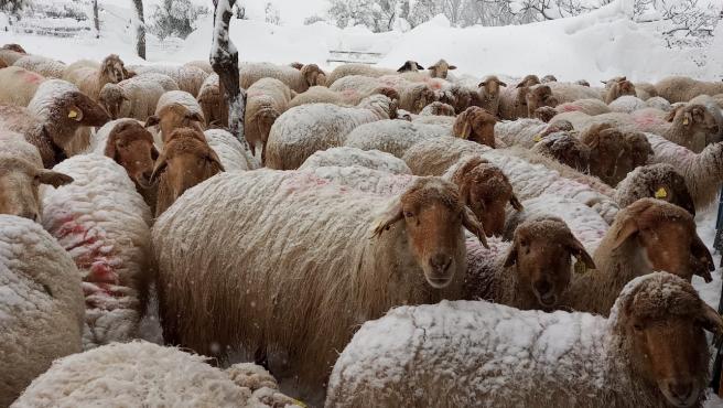 La nieve ha bloqueado los accesos a muchas explotaciones ganaderas de Madrid. En la imagen, un rebaño de ovejas aislado.