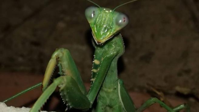 Imagen de una mantis religiosa.