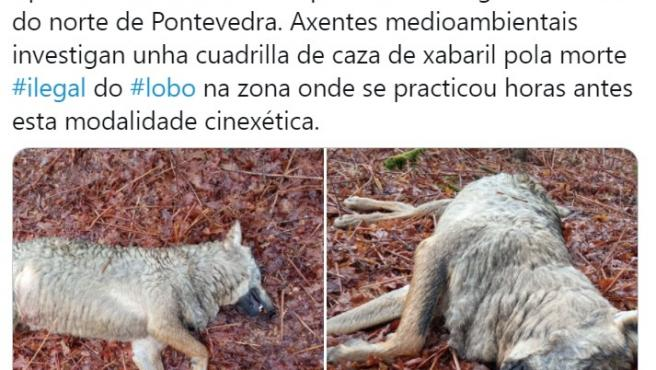Tuit de la asociación Galicia Ambiental en el que denuncia la aparición de una loba muerta en A Estrada (Pontevedra).