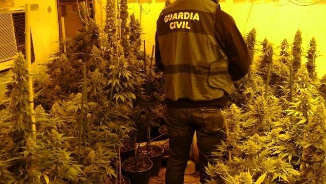 Imagen de la plantación de marihuana intervenida.