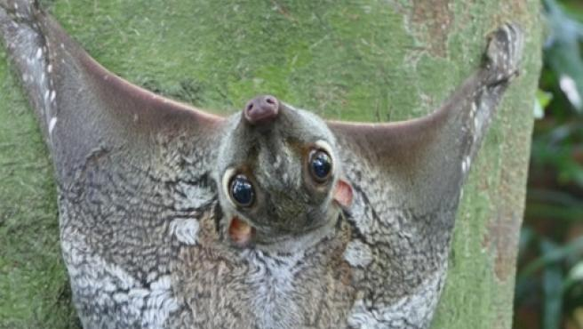 El colugo en su ámbito natural.