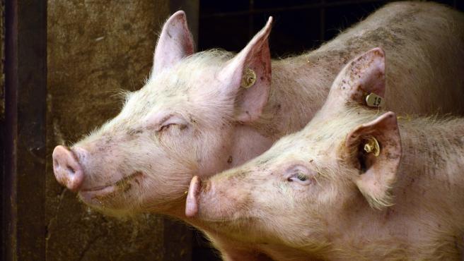 Cerdos en un granja