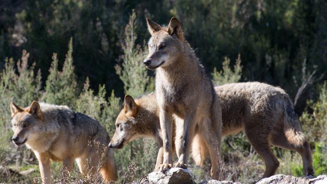 Varios lobos ibéricos en una imagen de archivo.