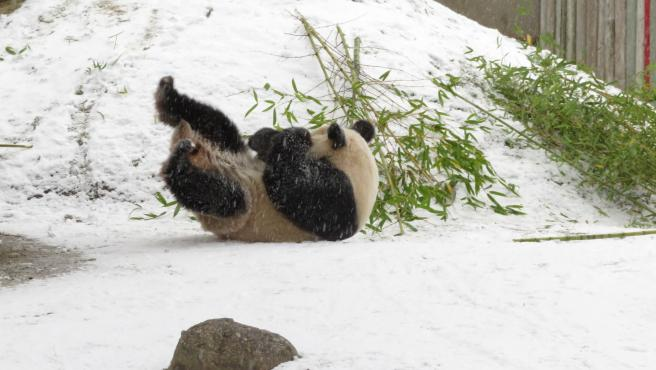 Uno de los osos panda del Zoo de Madrid juega con la nieve del temporal Filomena.