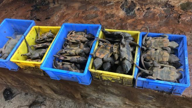 Tortugas cabezonas víctimas del tráfico ilegal en Myanmar en 2016.