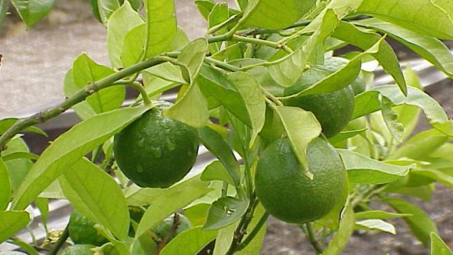 Frutos del naranjo madurando.