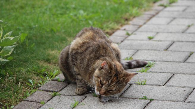 Un gato doméstico se come un ratón tras cazarlo.