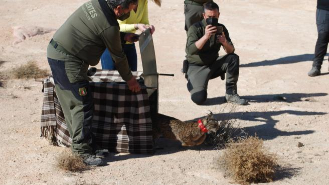 Activado un dispositivo de seguimiento sobre 'Quastellana', una hembra lince que habita en el sureste de Albacete