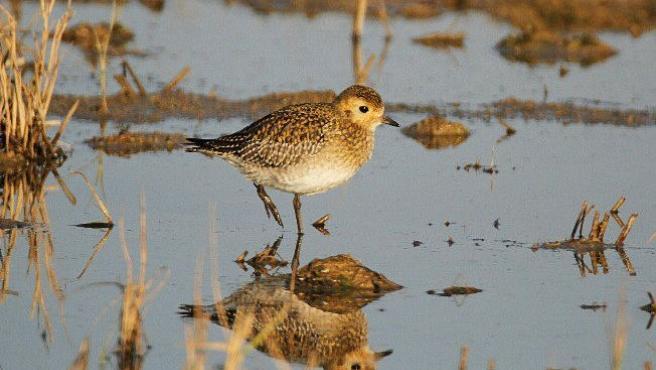 El Parc Natural del Delta de l'Ebre ha registrado este año 176.089 pájaros acuáticos invernales de 92 especies distintas