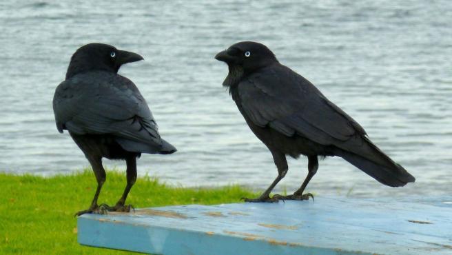 Imagen de archivo de dos cuervos.