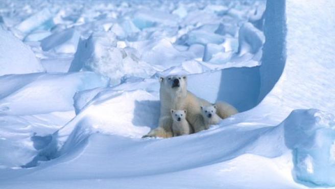Oso polar con sus crías.