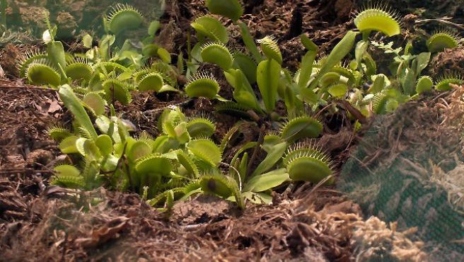Planta carnívora 'Venus atrapamoscas'.