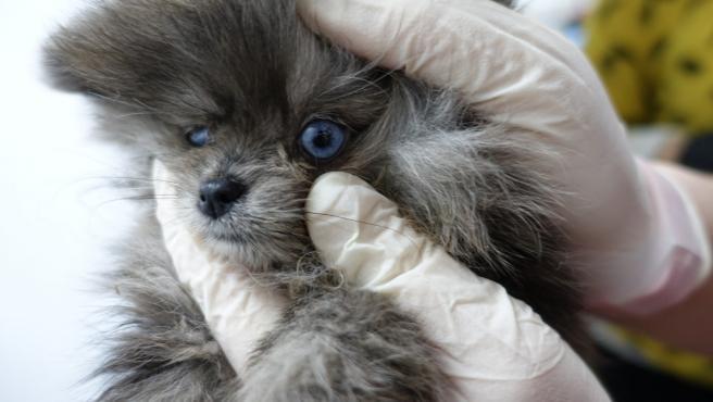 Uno de los perros hallados en el registro de la tienda de cachorros Ladridos de Barcelona.