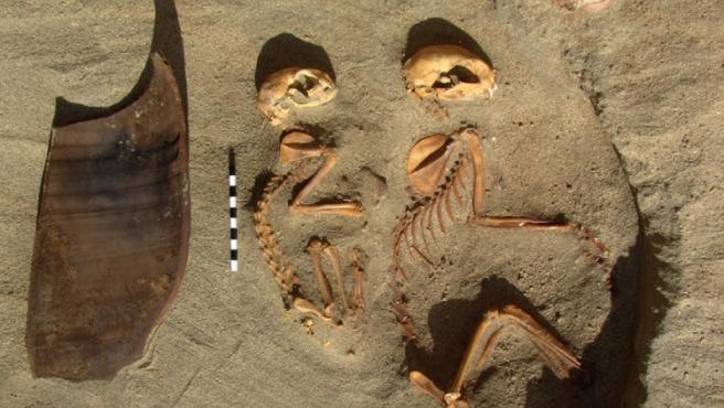 Esqueletos de gatos hallados en el sitio de Berenice.
