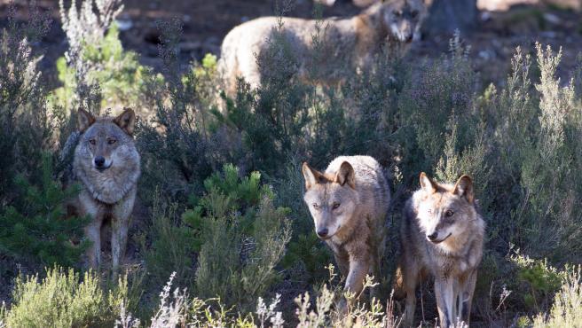 Robledo de Sanabria. El Centro del Lobo de Castilla y Leon alberga en sus instalaciones 11 ejemplares de Lobo Iberico (Canis Lupus Signatus) en situacion de semilibertad y esta abierto tres dias a la semana durante todo