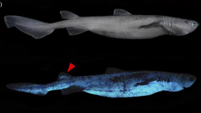 Ejemplar de tiburón, en condiciones normales (arriba) y bioluminiscente.