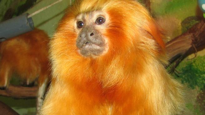 Imagen de un ejemplar de mono tamarino león dorado.