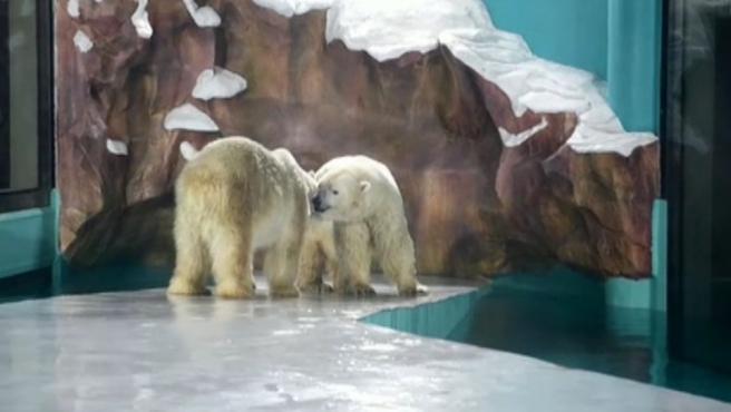 Osos polares en un hotel de China.