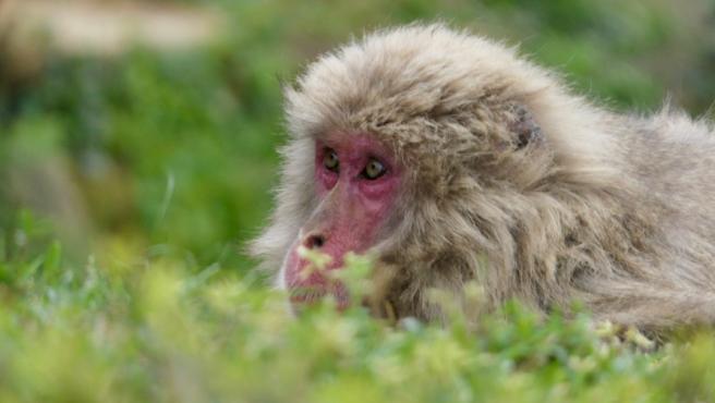 Un macaco japonés.
