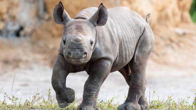 Una cría de rinoceronte negro, nacida en el zoológico de Miami, Florida (EE UU).