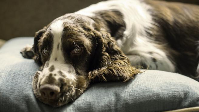 Un perro sobre un mullido y cómodo cojín.