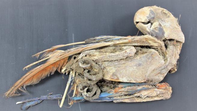 Guacamayo escarlata momificado recuperado de Pica 8, en el norte de Chile.