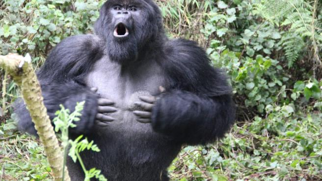 Imagen de un gorila de montaña golpeándose en el pecho.