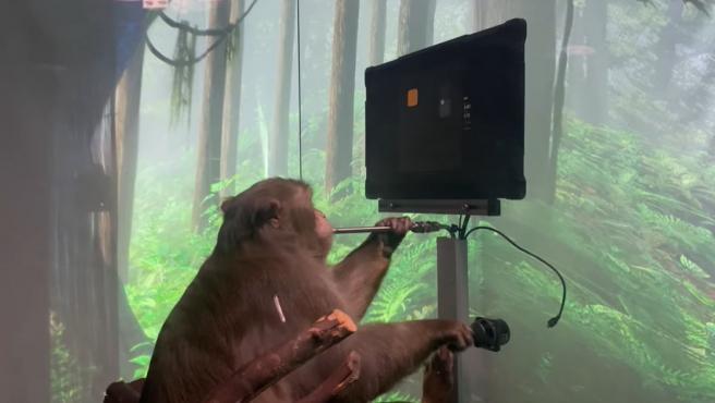Captura del vídeo en el que Pager, un macaco de nueve años, juega a Pong con su Neuralink.