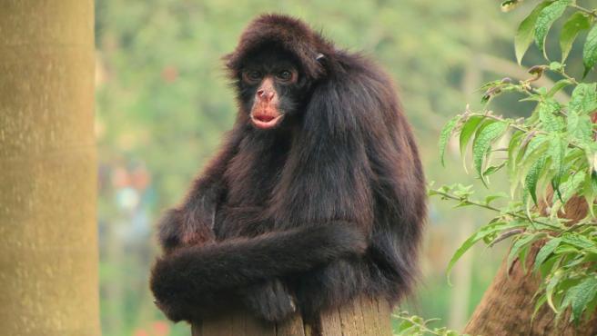 Imagen de un mono araña negro.
