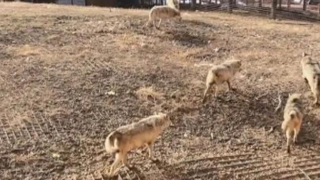 La manada de lobos, tras matar al perro.