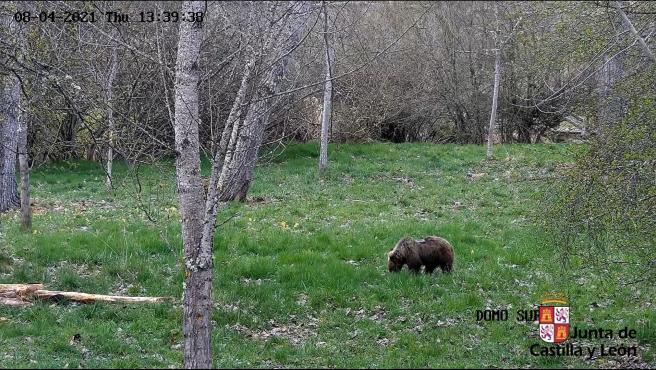 Archivo - La osezna Éndriga en las instalaciones del Centro de Referencia para la aclimatación de osos pardos de la Cordillera Cantábrica.