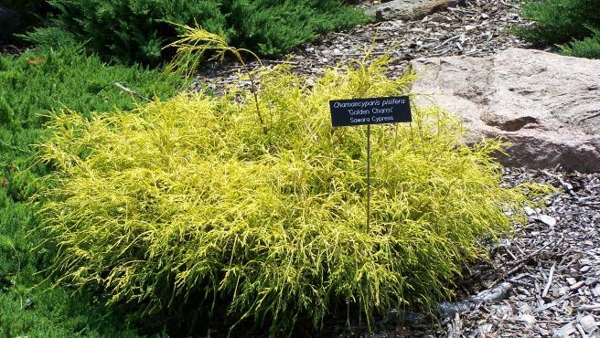 'Chamaecyparis pisifera', conocida como Golden Charm.