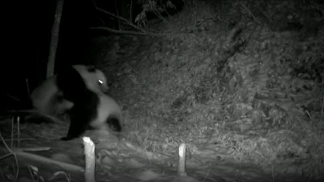 Momento de la lucha entre los pandas.