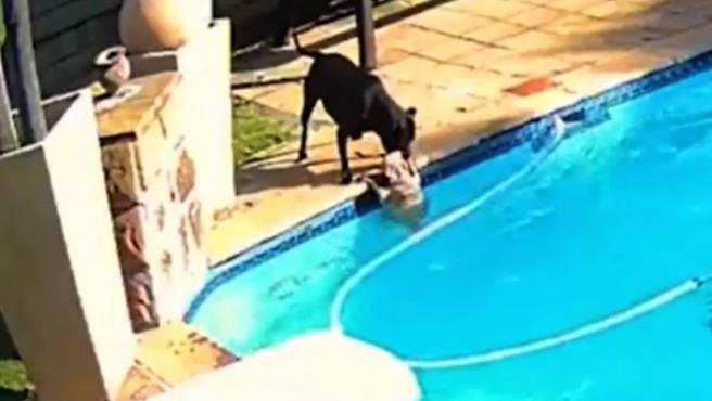 Captura del vídeo en el que un perro rescata a otro de una piscina.