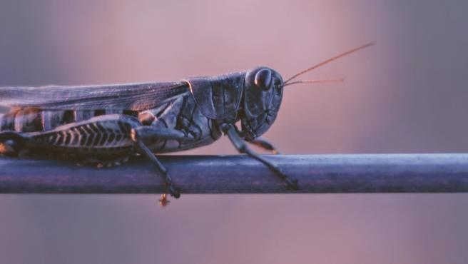 Cuando llegan las lluvias, las langostas pueden formar enjambres de más de 15 millones de insectos por milla cuadrada